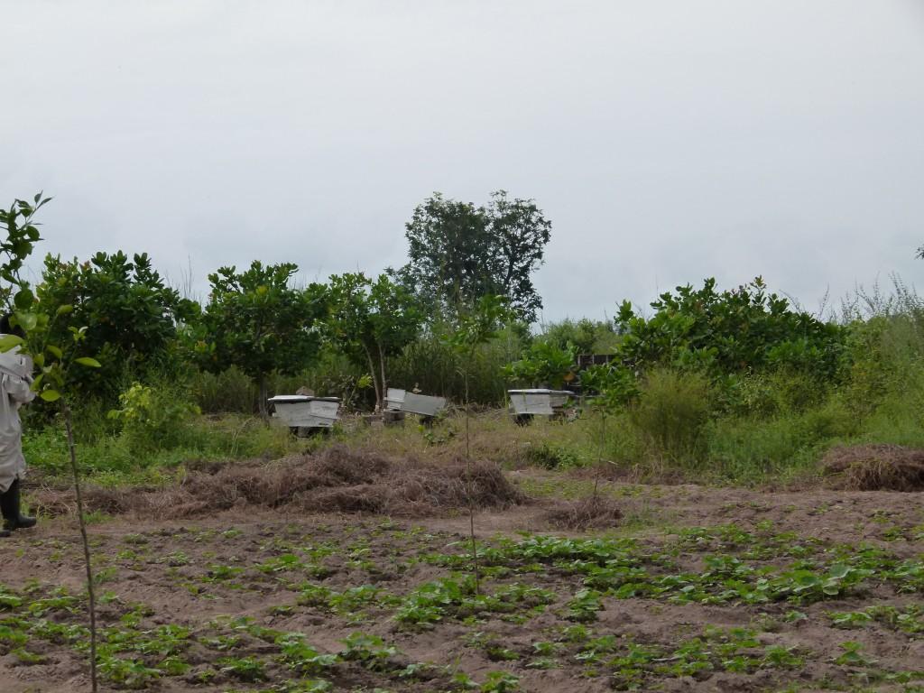 Colmenas Gambia